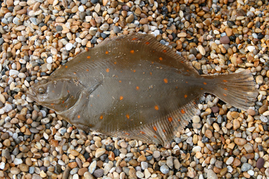 A lovely spring Plaice from West Bexington