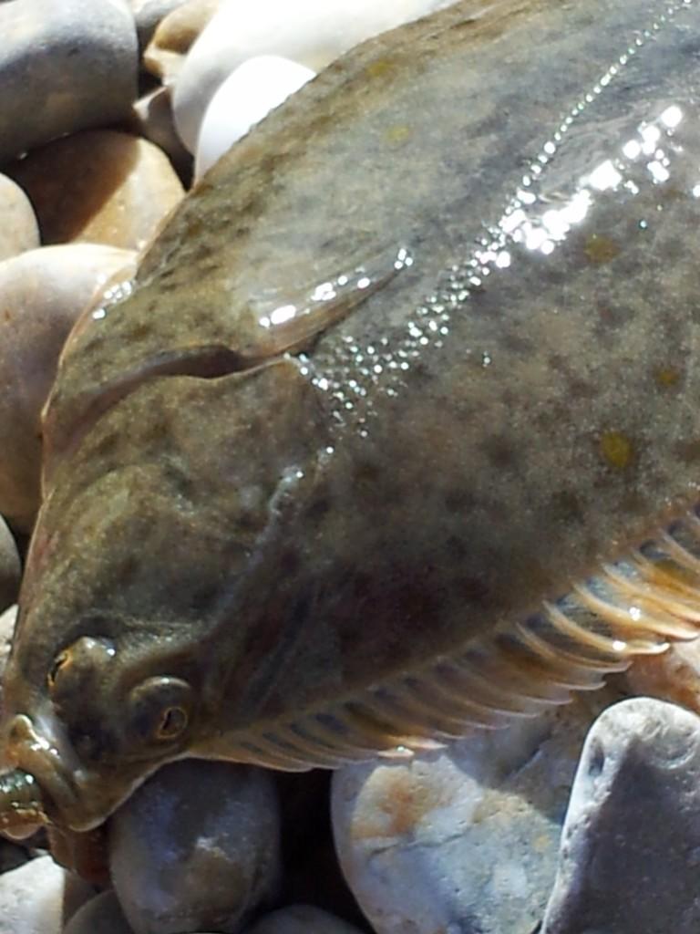 Flounder red3