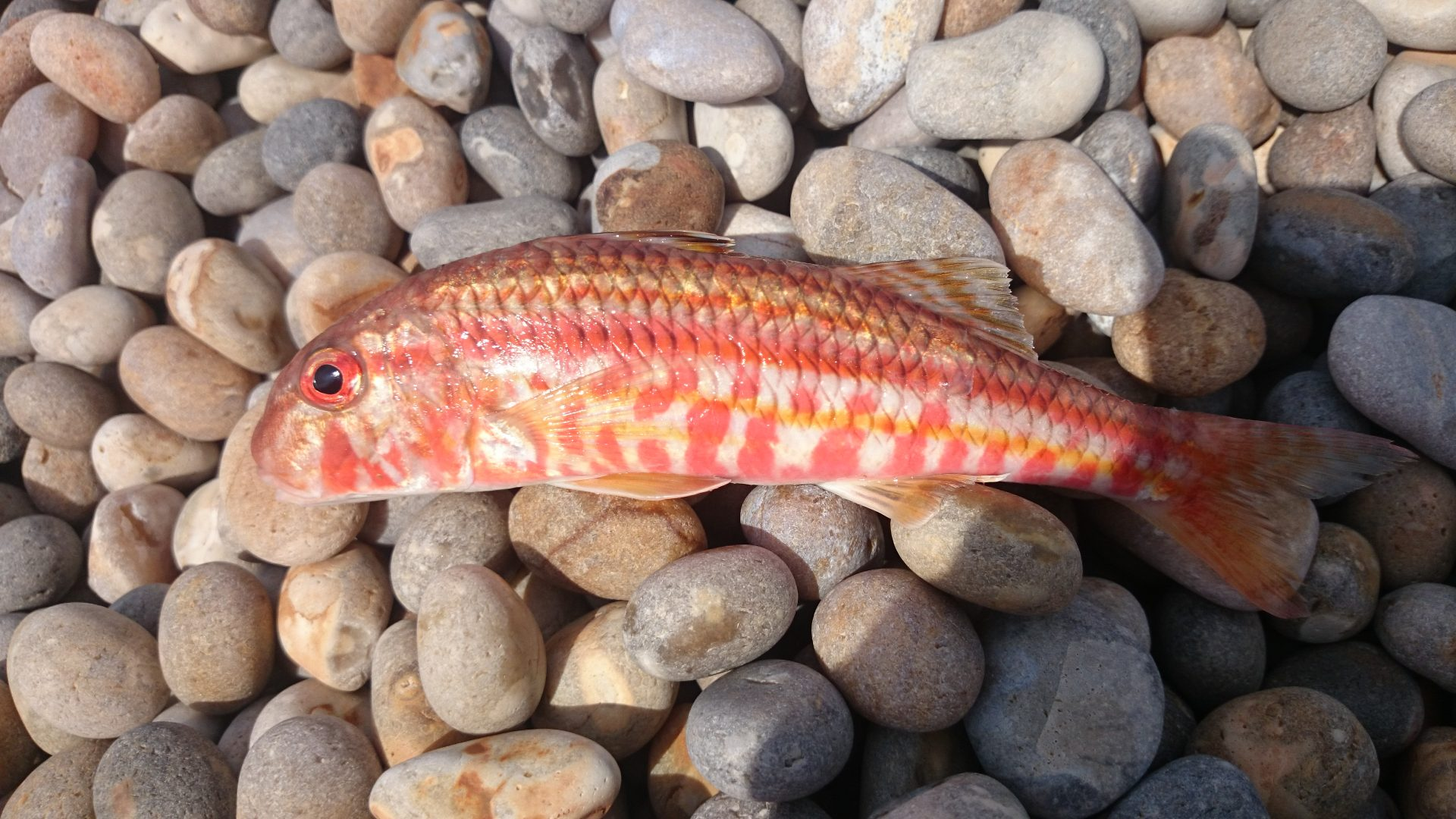 Red Mullet2